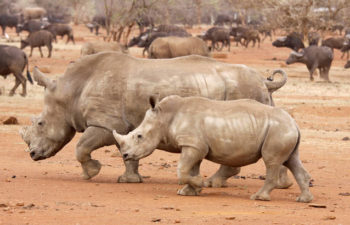 Mozambique | Rhino trafficking: Down the rabbit hole at the Kruger Park